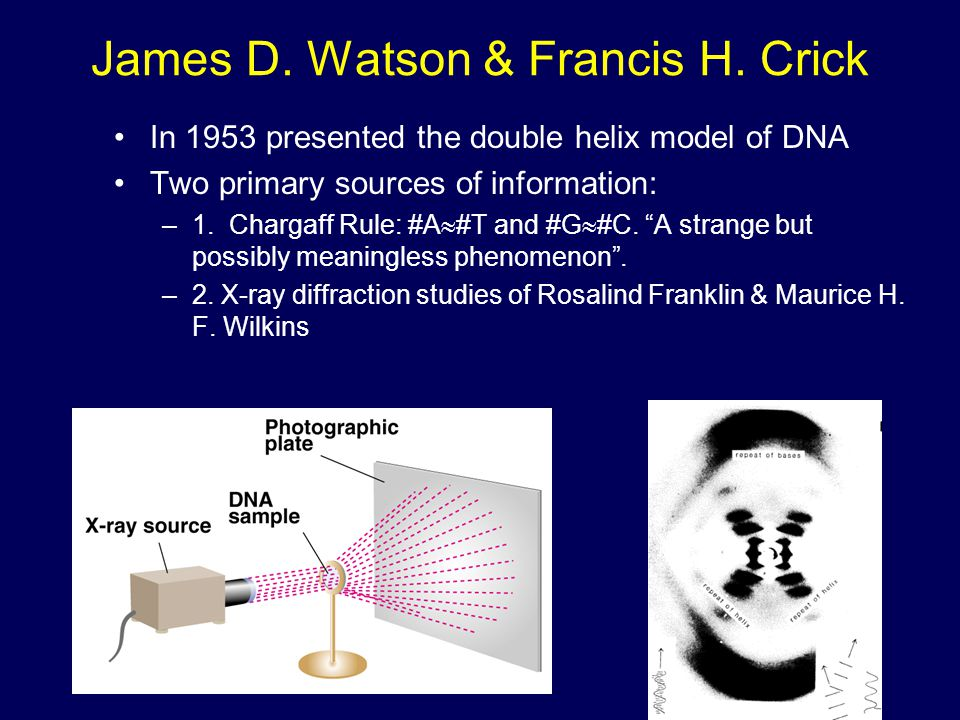 James D. Watson & Francis H. Crick In 1953 presented the double helix model of DNA Two primary sources of information: –1. Chargaff Rule: #A  #T and