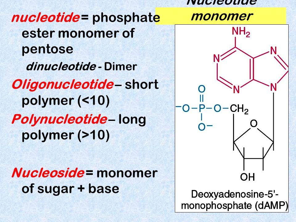 2) NITROGENOUS BASES planar, aromatic, hetercyclic derivatives of purines/pyrimidines adenine uracil thymine cytosine guanine pyrimidines purines Note