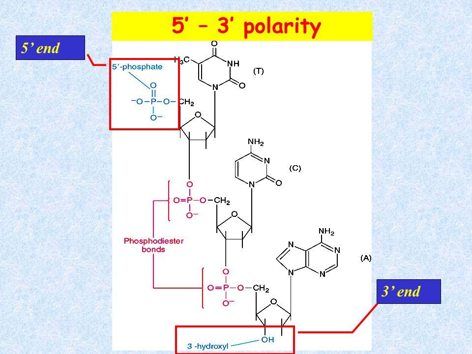 1) Phosphodiester bonds 5' and 3' links to pentose sugar 2) N-glycosidic bonds Links nitrogenous base to C1' pentose in beta configuration 5' – 3' pol