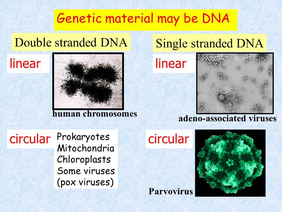 Types of RNA  Messenger RNA (mRNA): Codes for proteins  Transfer RNA (tRNA): Adaptor between mRNA & amino acids  Ribosomal RNA (rRNA): Forms riboso