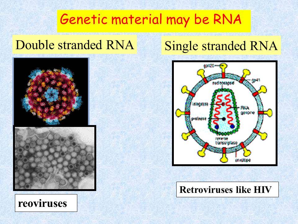 linear human chromosomes Double stranded DNA Genetic material may be DNA Single stranded DNA circular linear circular Prokaryotes Mitochondria Chlorop