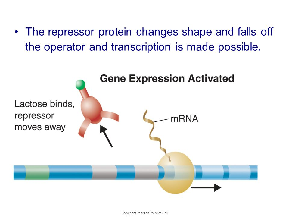 Copyright Pearson Prentice Hall Gene Regulation: An Example The repressor protein changes shape and falls off the operator and transcription is made p