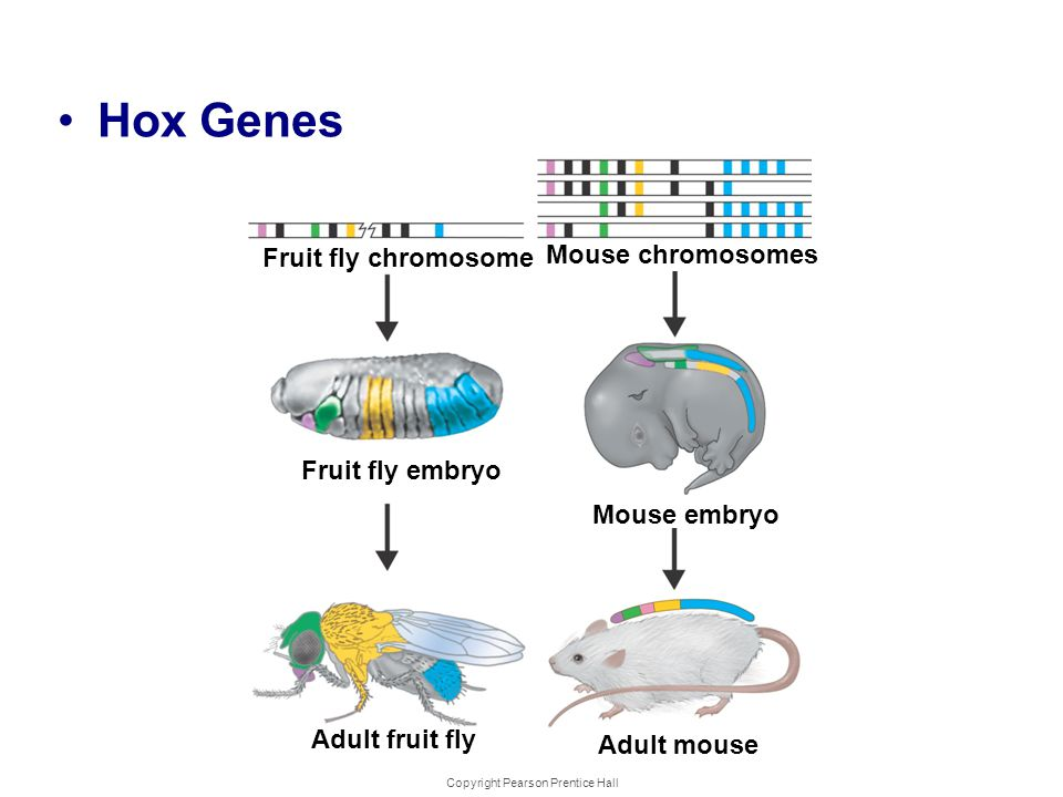 Copyright Pearson Prentice Hall Development and Differentiation Hox Genes Fruit fly chromosome Fruit fly embryo Adult fruit fly Mouse chromosomes Mous