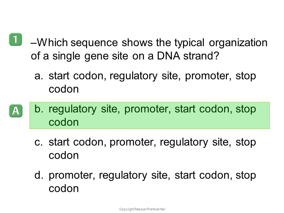 Copyright Pearson Prentice Hall 12–5 –Which sequence shows the typical organization of a single gene site on a DNA strand? a.start codon, regulatory s
