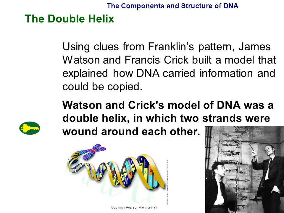 Copyright Pearson Prentice Hall The Components and Structure of DNA The Double Helix Using clues from Franklin's pattern, James Watson and Francis Cri