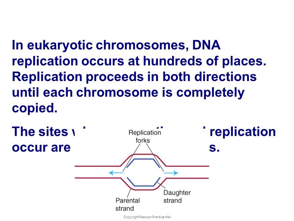 Copyright Pearson Prentice Hall DNA Replica tion In eukaryotic chromosomes, DNA replication occurs at hundreds of places. Replication proceeds in both