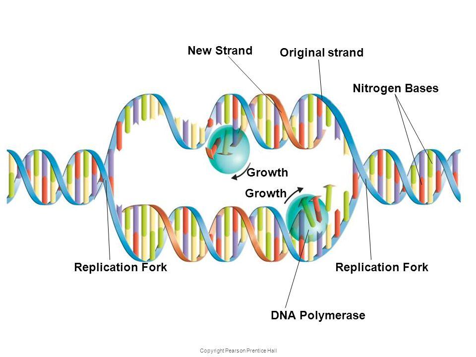 Copyright Pearson Prentice Hall DNA Replica tion Nitrogen Bases Replication Fork DNA Polymerase Replication Fork Original strand New Strand Growth