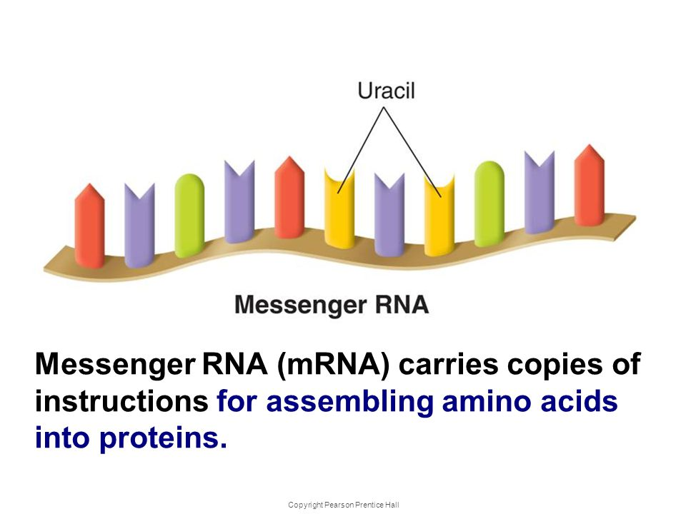 Copyright Pearson Prentice Hall Types of RNA Messenger RNA (mRNA) carries copies of instructions for assembling amino acids into proteins.