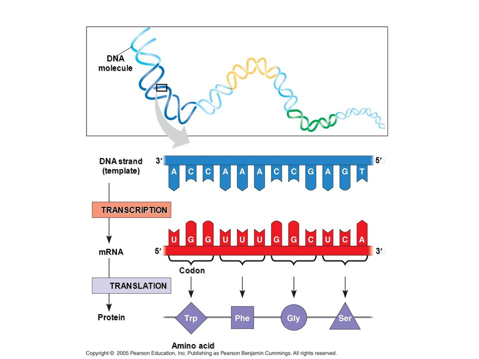 Protein Synthe sis DNAmolecule DNA strand (template) 3 TRANSCRIPTION Codon mRNA TRANSLATION Protein Amino acid 3 5 5