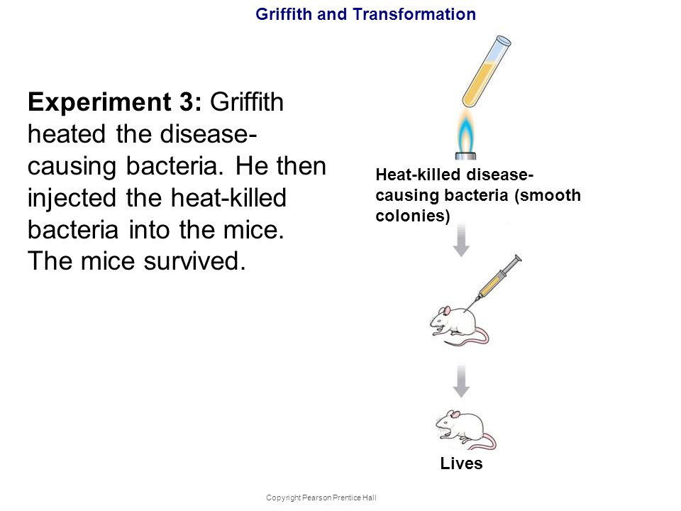 Copyright Pearson Prentice Hall Griffith and Transformation Experiment 3: Griffith heated the disease- causing bacteria. He then injected the heat-kil