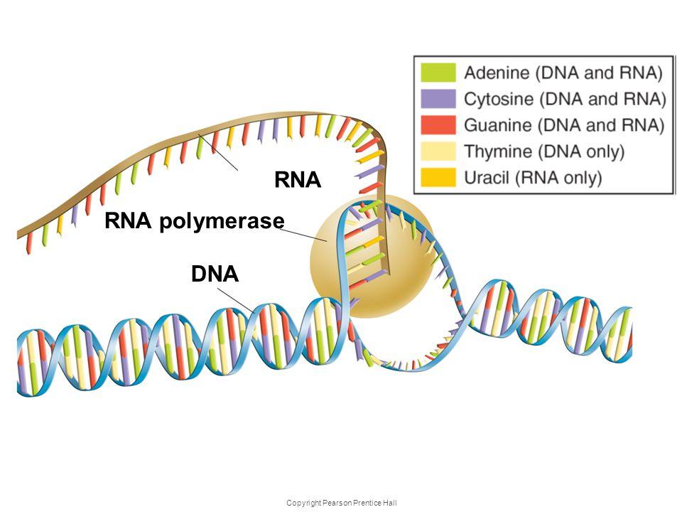Copyright Pearson Prentice Hall Transcr iption RNA RNA polymerase DNA
