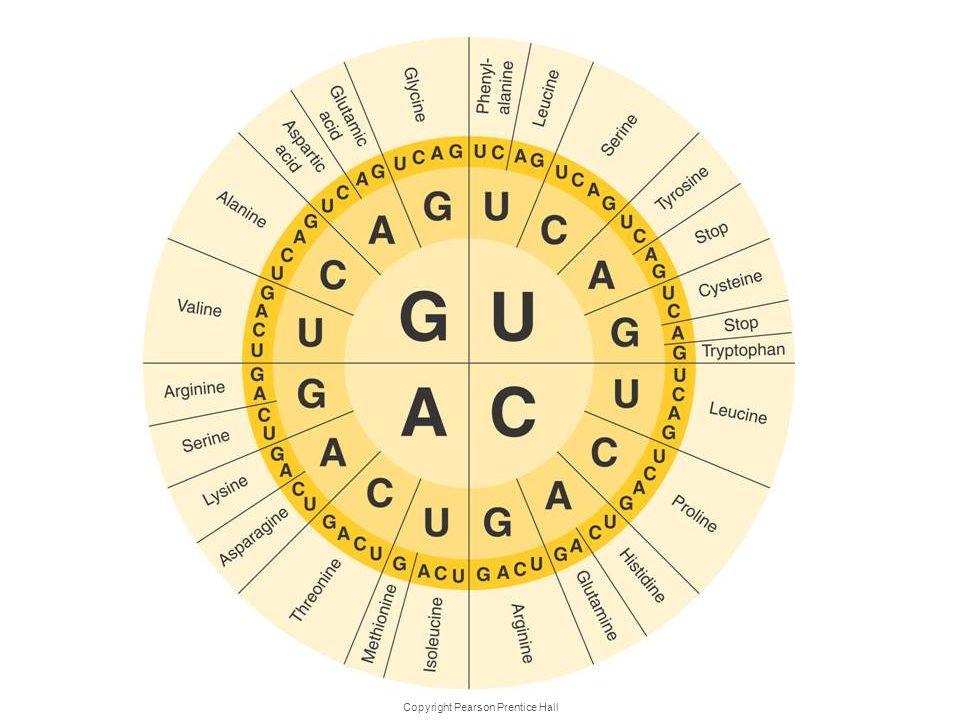 Copyright Pearson Prentice Hall The Genetic Code