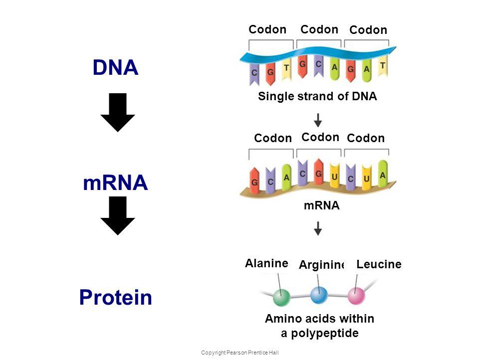 Copyright Pearson Prentice Hall Genes and Protein s DNA mRNA Protein Codon mRNA Alanine Arginine Leucine Amino acids within a polypeptide Single stran