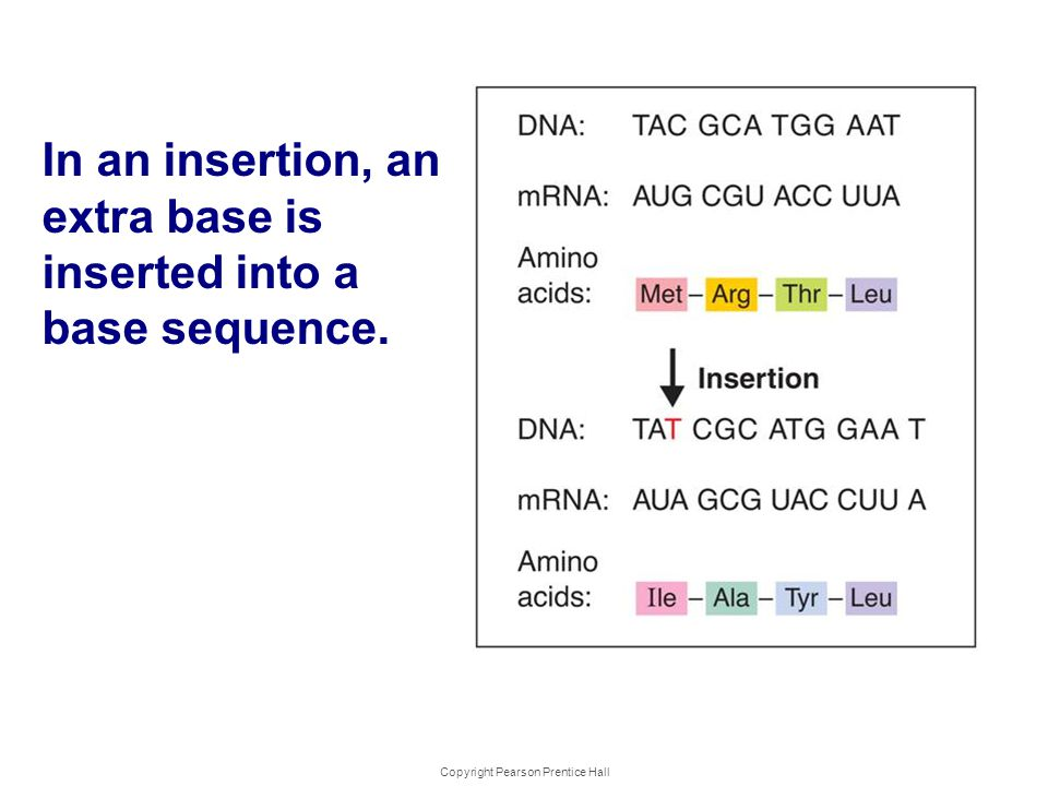 Copyright Pearson Prentice Hall Kinds of Mutations In an insertion, an extra base is inserted into a base sequence.