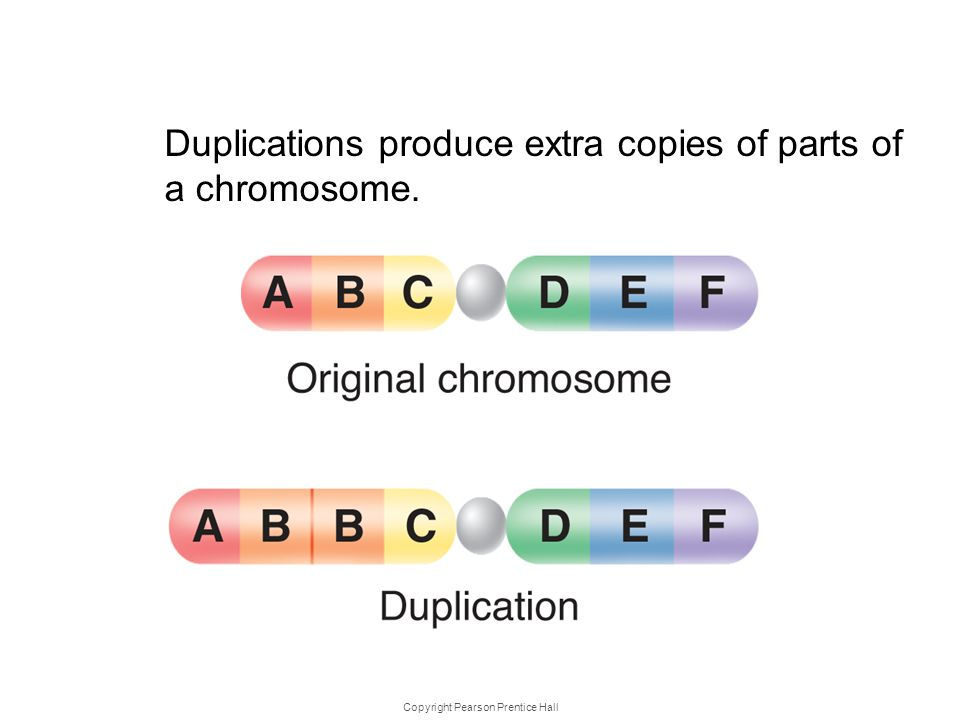 Copyright Pearson Prentice Hall Kinds of Mutations Duplications produce extra copies of parts of a chromosome.