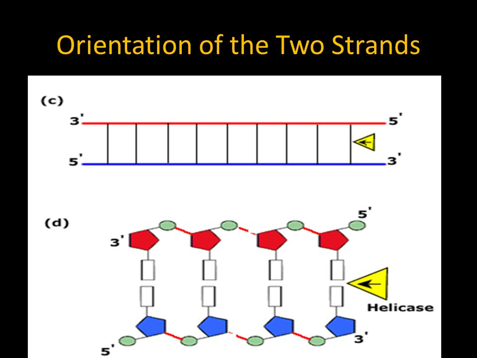 Orientation of the Two Strands The top strand of DNA is the 5' (5 prime) strand and at the end of the top rail is the 3' (3 prime) and said to be 5' t