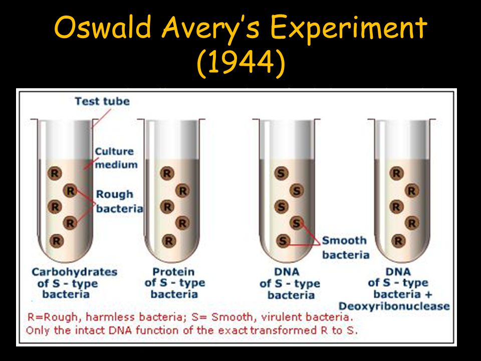 Oswald Avery's Experiment (1944) Avery and Colleagues identified the molecule that transformed the R strain of bacteria into the S strain.
