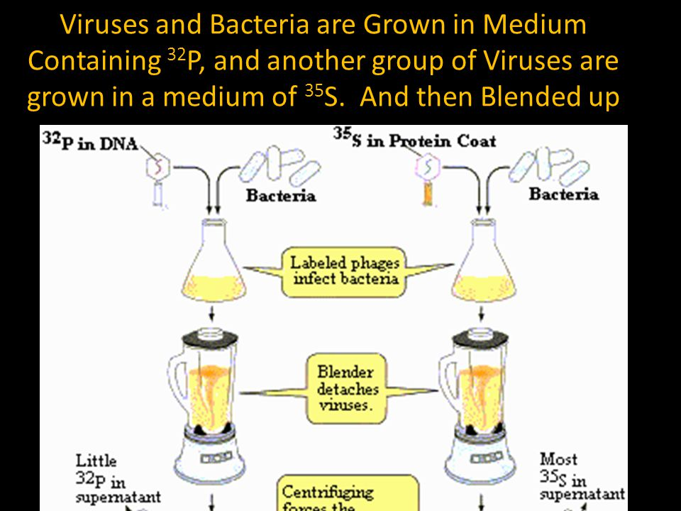 Viruses and Bacteria are Grown in Medium Containing 32 P, and another group of Viruses are grown in a medium of 35 S. And then Blended up