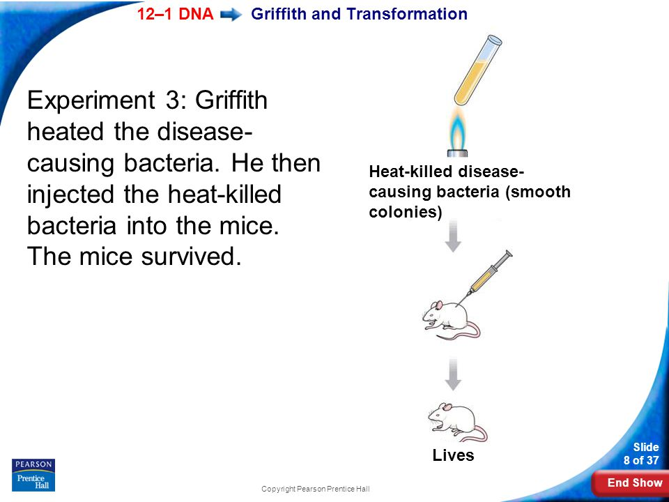 End Show 12–1 DNA Slide 8 of 37 Copyright Pearson Prentice Hall Griffith and Transformation Experiment 3: Griffith heated the disease- causing bacteri