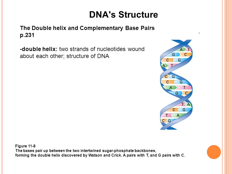 DNA's Structure The Double helix and Complementary Base Pairs p.231 -double helix: two strands of nucleotides wound about each other; structure of DNA
