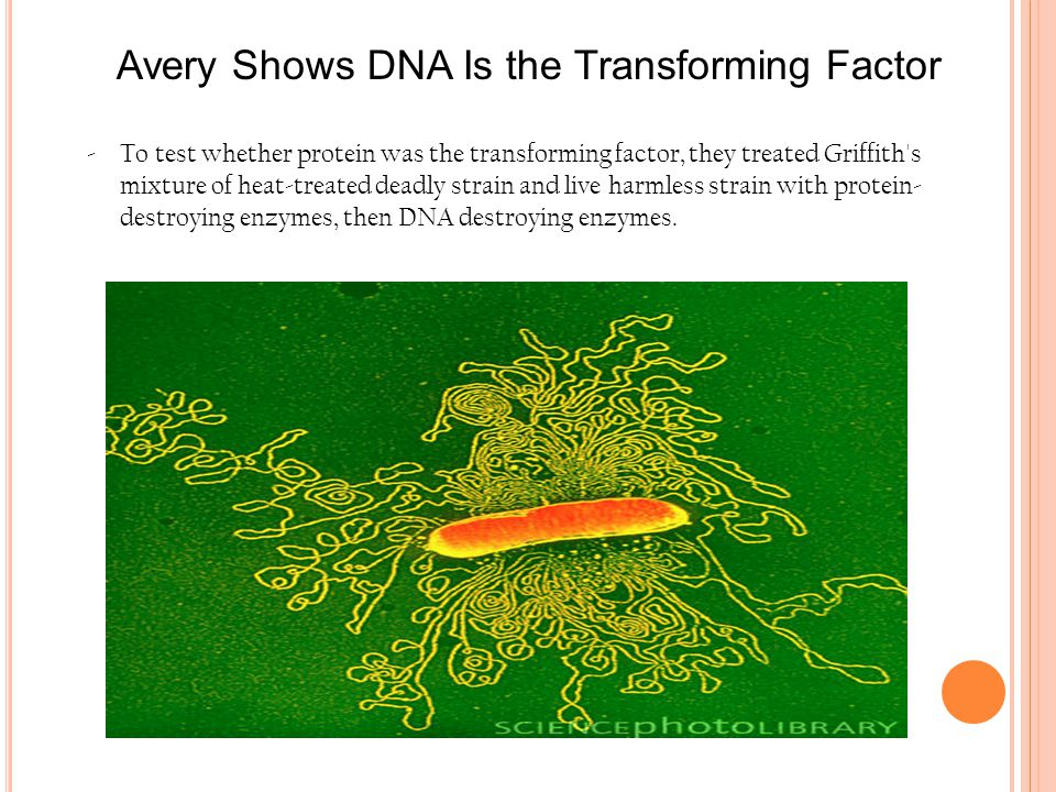 Avery Shows DNA Is the Transforming Factor -To test whether protein was the transforming factor, they treated Griffith's mixture of heat-treated deadl