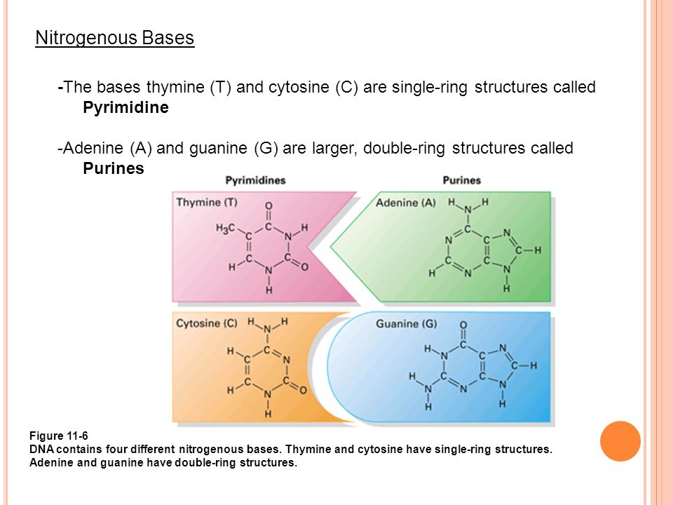 Nitrogenous Bases -The bases thymine (T) and cytosine (C) are single-ring structures called Pyrimidine -Adenine (A) and guanine (G) are larger, double