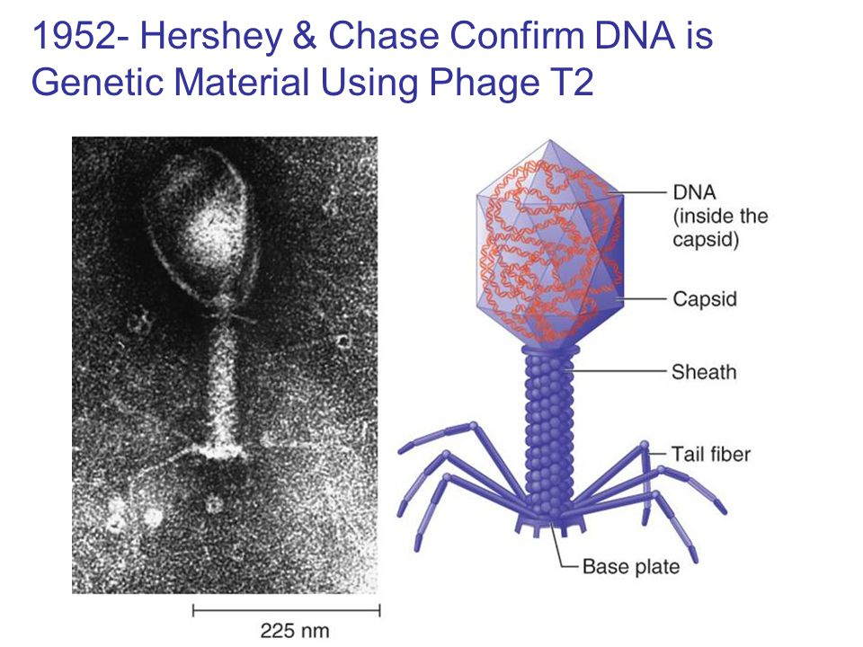 Figure 9.5 Life cycle of phage T2