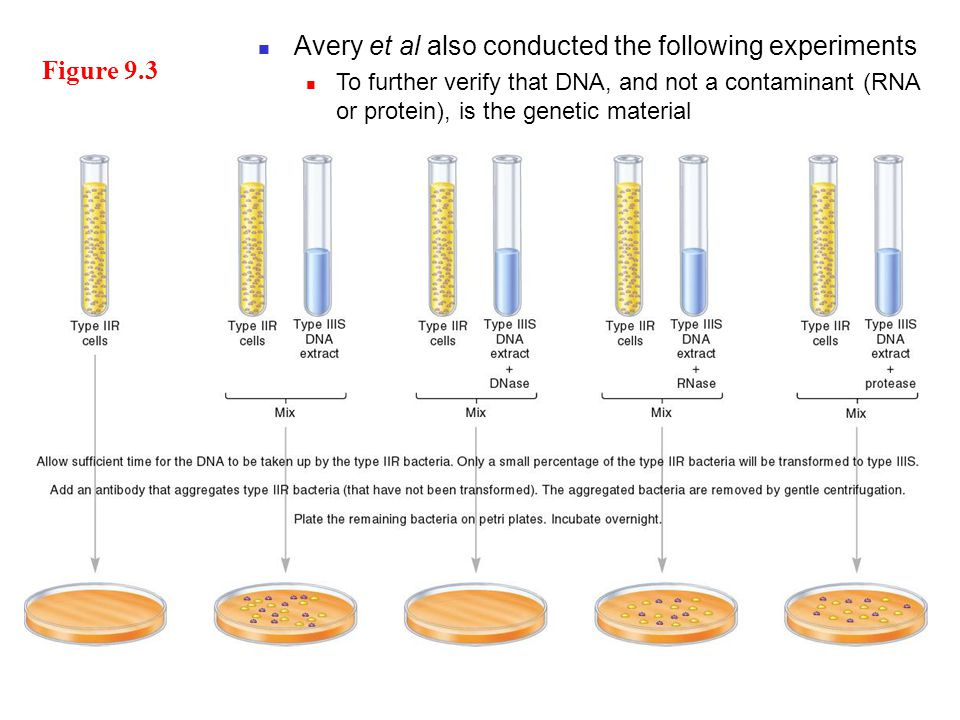 Figure 9.3 Avery et al also conducted the following experiments To further verify that DNA, and not a contaminant (RNA or protein), is the genetic material