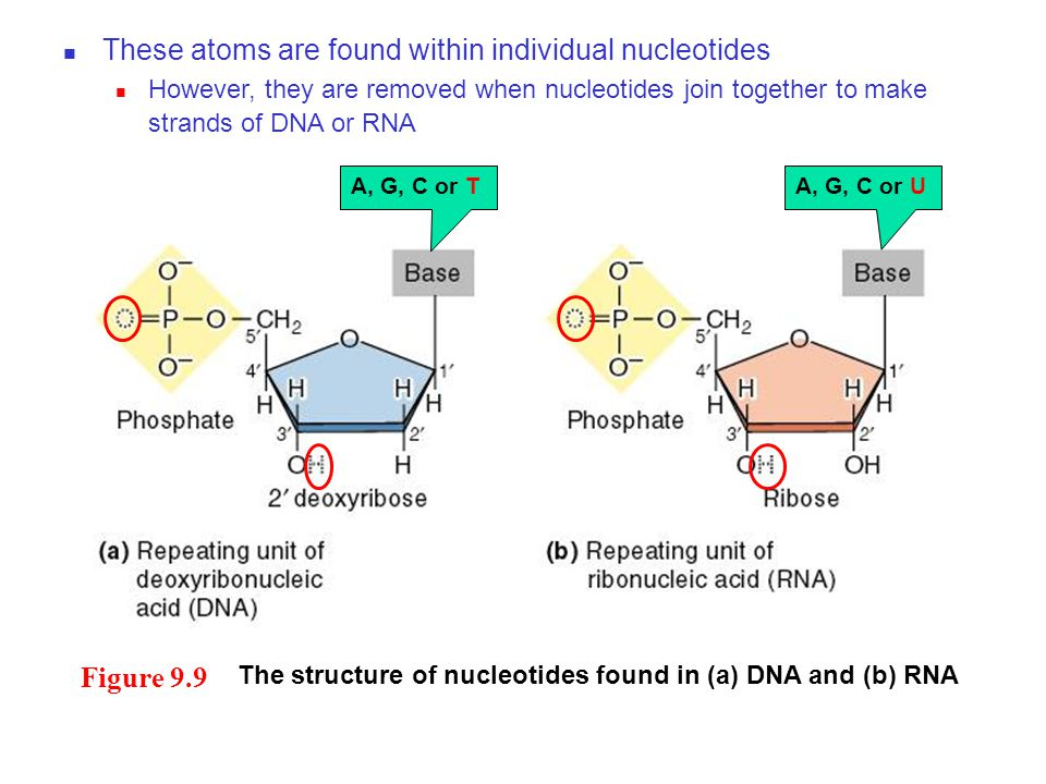 Figure 9.9 The structure of nucleotides found in (a) DNA and (b) RNA A, G, C or T These atoms are found within individual nucleotides However, they are removed when nucleotides join together to make strands of DNA or RNA A, G, C or U