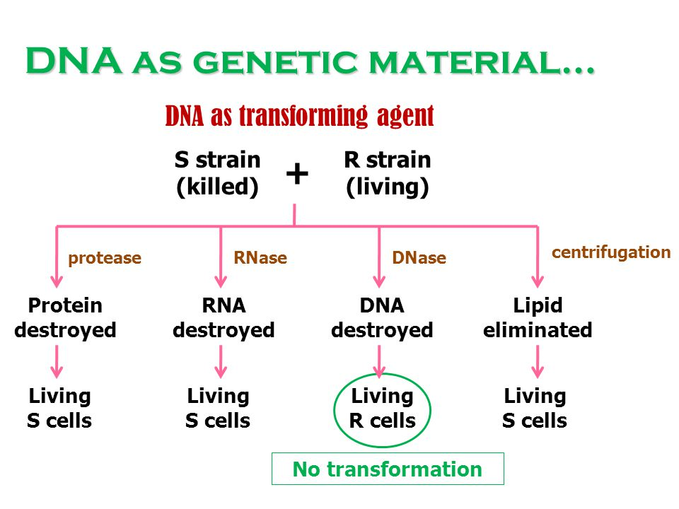 DNA as genetic material… S strain (killed) R strain (living) + Protein destroyed RNA destroyed DNA destroyed Lipid eliminated Living S cells Living R
