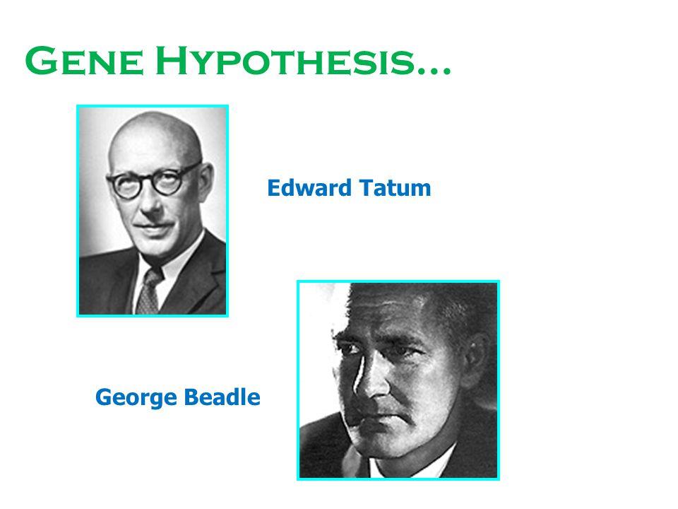 Gene Hypothesis… Edward Tatum George Beadle