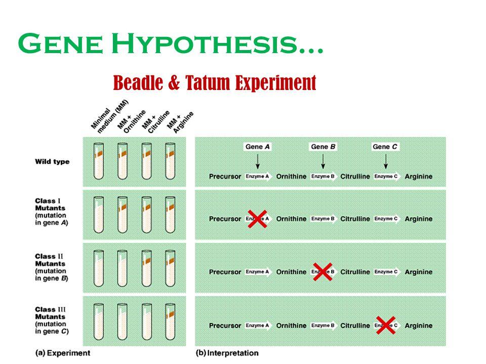Gene Hypothesis… Beadle & Tatum Experiment