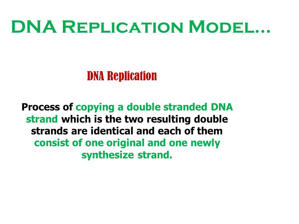 DNA Replication Model… DNA Replication Process of copying a double stranded DNA strand which is the two resulting double strands are identical and eac