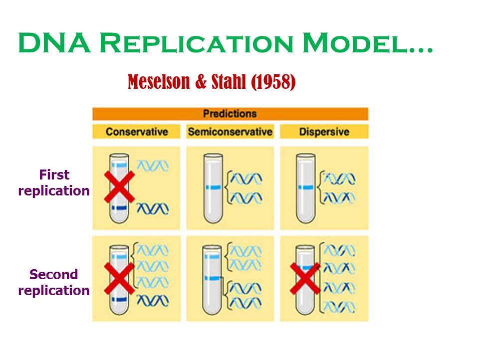 DNA Replication Model… Meselson & Stahl (1958) Second replication First replication