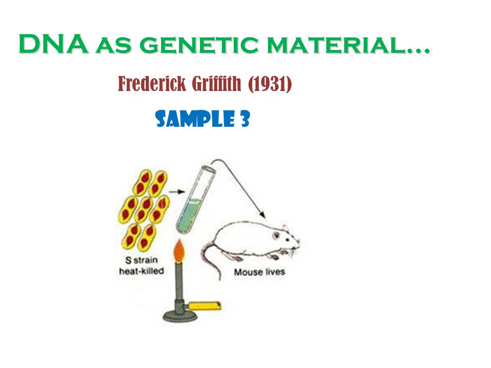 DNA as genetic material… Sample 3 Frederick Griffith (1931)