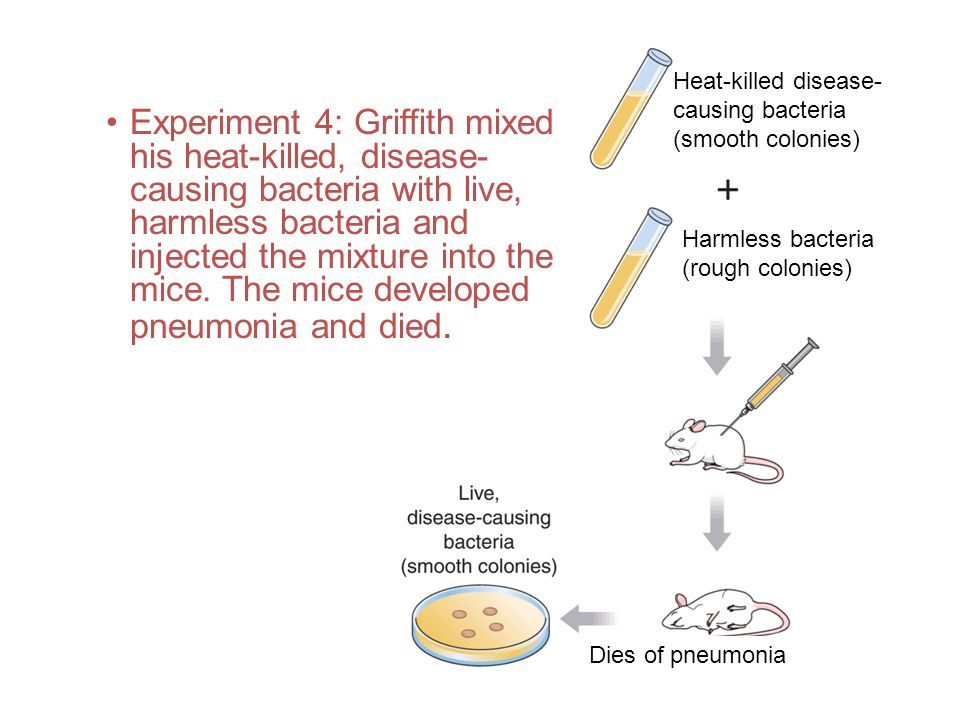 Experiment 4: Griffith mixed his heat-killed, disease- causing bacteria with live, harmless bacteria and injected the mixture into the mice. The mice