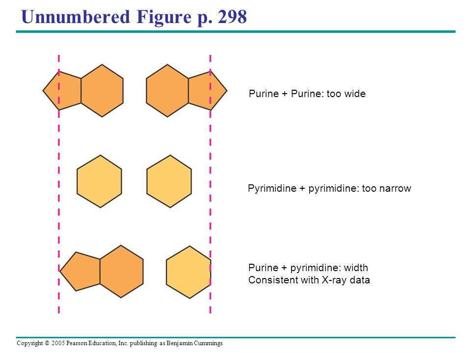 Copyright © 2005 Pearson Education, Inc. publishing as Benjamin Cummings Unnumbered Figure p. 298 Purine + Purine: too wide Pyrimidine + pyrimidine: t