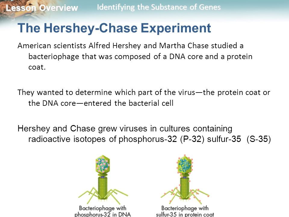 Lesson Overview Lesson Overview Identifying the Substance of Genes The Hershey-Chase Experiment American scientists Alfred Hershey and Martha Chase studied a bacteriophage that was composed of a DNA core and a protein coat.