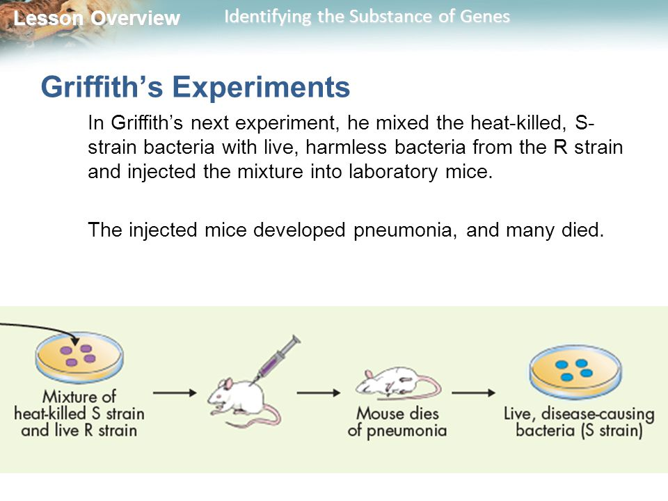 Lesson Overview Lesson Overview Identifying the Substance of Genes Griffith's Experiments In Griffith's next experiment, he mixed the heat-killed, S- strain bacteria with live, harmless bacteria from the R strain and injected the mixture into laboratory mice.