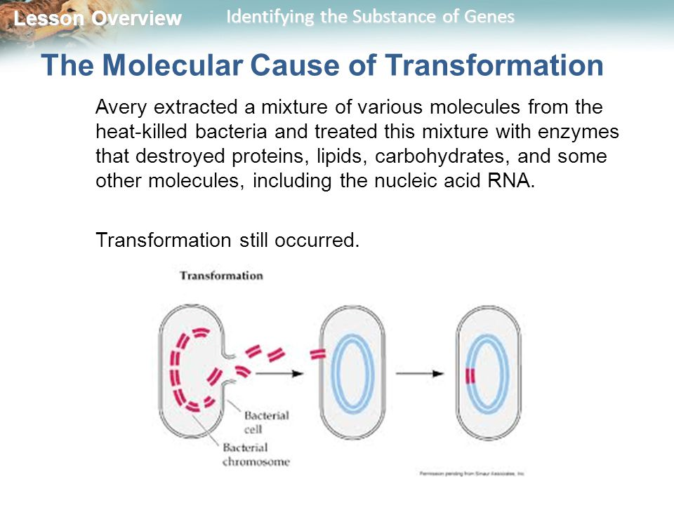 Lesson Overview Lesson Overview Identifying the Substance of Genes The Molecular Cause of Transformation Avery extracted a mixture of various molecules from the heat-killed bacteria and treated this mixture with enzymes that destroyed proteins, lipids, carbohydrates, and some other molecules, including the nucleic acid RNA.