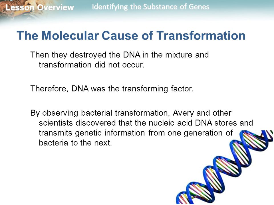 Lesson Overview Lesson Overview Identifying the Substance of Genes The Molecular Cause of Transformation Then they destroyed the DNA in the mixture and transformation did not occur.