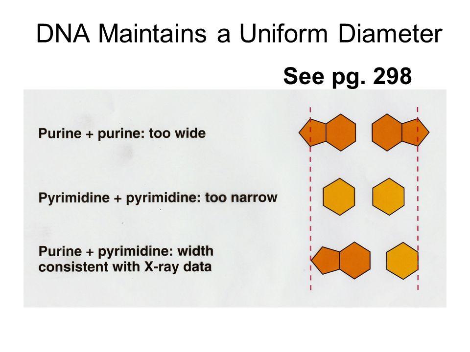 DNA Maintains a Uniform Diameter See pg. 298