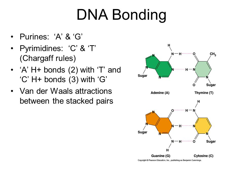DNA Bonding Purines: 'A' & 'G' Pyrimidines: 'C' & 'T' (Chargaff rules) 'A' H+ bonds (2) with 'T' and 'C' H+ bonds (3) with 'G' Van der Waals attractions between the stacked pairs