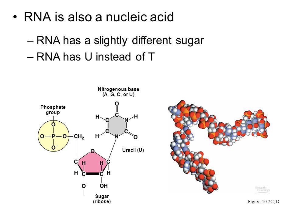 RNA is also a nucleic acid –RNA has a slightly different sugar –RNA has U instead of T Figure 10.2C, D Phosphate group Nitrogenous base (A, G, C, or U) Uracil (U) Sugar (ribose)