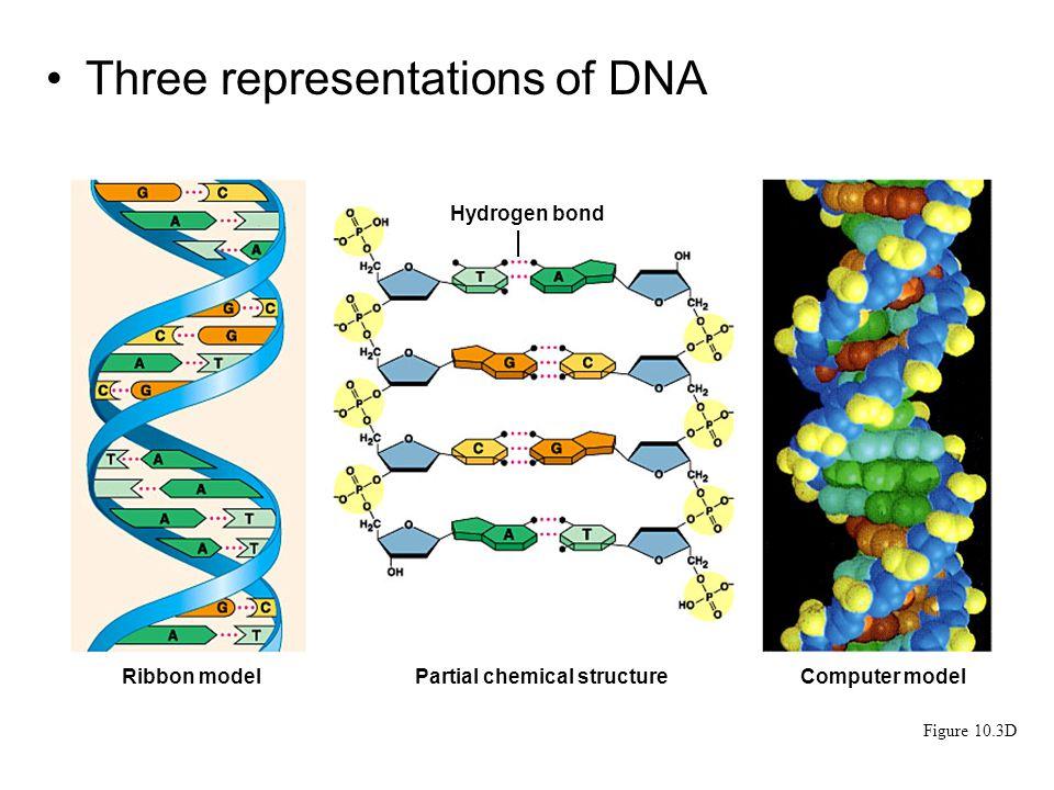 Three representations of DNA Figure 10.3D Ribbon modelPartial chemical structureComputer model Hydrogen bond