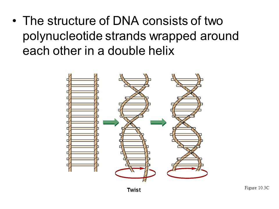 The structure of DNA consists of two polynucleotide strands wrapped around each other in a double helix Figure 10.3C Twist 1 chocolate coat, Blind (PRA)