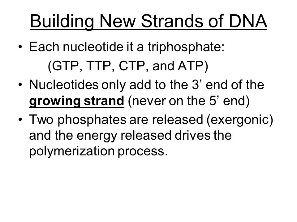 Building New Strands of DNA Each nucleotide it a triphosphate: (GTP, TTP, CTP, and ATP) Nucleotides only add to the 3' end of the growing strand (never on the 5' end) Two phosphates are released (exergonic) and the energy released drives the polymerization process.