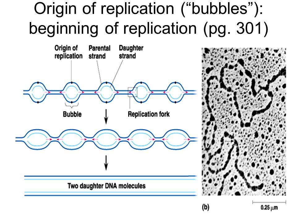 Origin of replication ( bubbles ): beginning of replication (pg. 301)