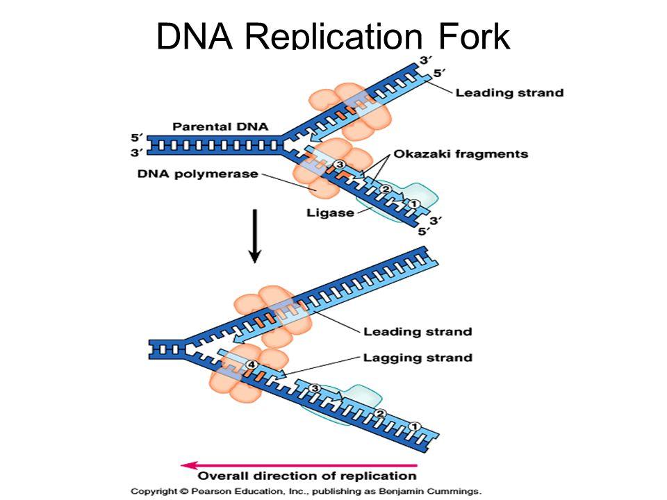 DNA Replication Fork