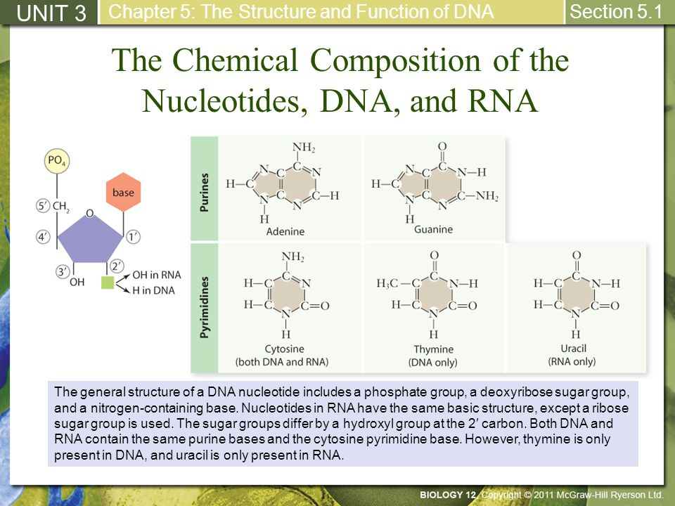 The Chemical Composition of the Nucleotides, DNA, and RNA UNIT 3 Chapter 5: The Structure and Function of DNA Section 5.1 The general structure of a D